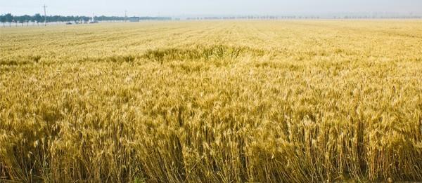 1丰收的麦田